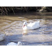 6 White Campbell Duck Hatching Eggs